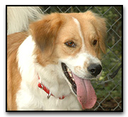 border collie dog mix available for adoption